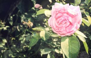 Flower - Pink Rose by Jazht