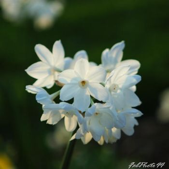 Narcissus by fabphoto44