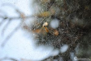 Funnel Web by Savellla