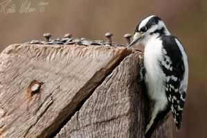 Woodpecker 2 by robb-nelson