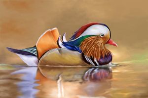 Mandarin duck by kserx