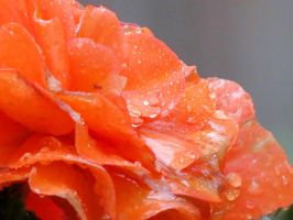 Orange Begonia Waterdroplets by Kitteh-Pawz