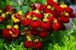 Calceolaria:) by Michawolf13