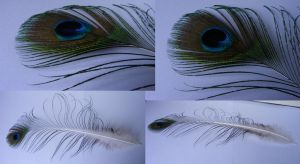 Peacock Feathers by Tasastock