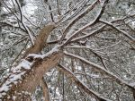 Snowy Cedar by ginganinja701