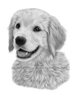 Golden retriever drawing by petbet1