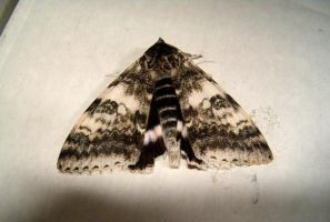 Black and white moth by Ripplin