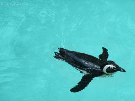 Black-footed Penguin by Rachaels