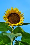 Sunflower by Life-For-Sale