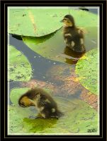 Ducklings by Smokey41