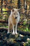 Arctic Wolf by iwolf1