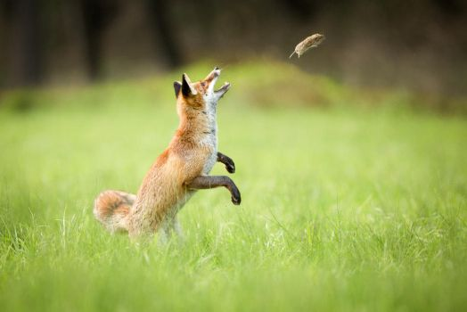 Fox playing with vole by AlesGola