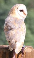 Barn Owl 9 by Chocomix-Stock