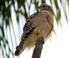 Red Shouldered Hawk by parallaxadjustable
