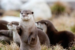 Otter by Art-Photo