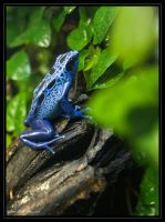 Poison Blue Passion Frog by Haywood-Photography