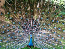 Peacock by msh2927