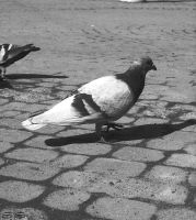 Pigeon by bezag