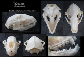 Skull Stock: Raccoon by Krissyfawx