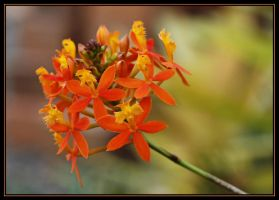 Orange Crucifix Orchid by Firey-Sunset