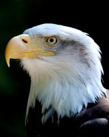 Bald Eagle 1 by 30-noir