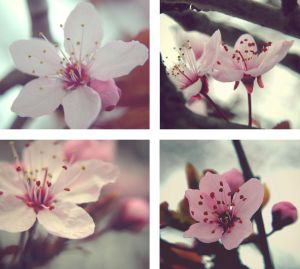 Cherry Blossoms by CocoaTheMonkey