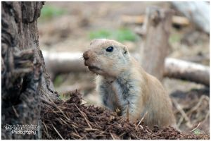 Black tailed prairie dog by Clerdy
