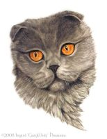 Portrait of a Scottish Fold by Illahie