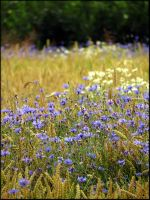Lovely cornflowers... by Yancis