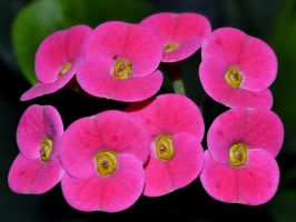 Pink Flowers by Roky320