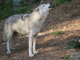 Wolf pic 4 by ChasingDreams4