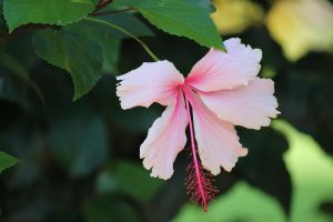 Hibiscus Flower by N-ScapePhotography