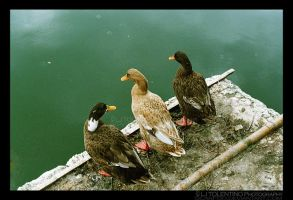 Mighty Ducks by LJ1983