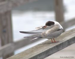 Young Tern Preening by SlateGray