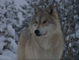 Awesome wolf photo by wolf54321