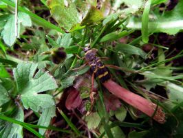 wasp beetle by harrietbaxter