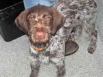 My German Wire-Haired Pointer by countryboy1860