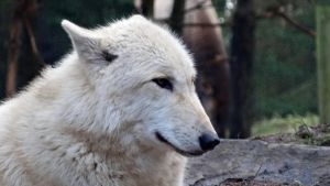 White Grey Wolf I by Track-Maidens