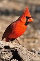 Northern Cardinal 7970 by robbobert