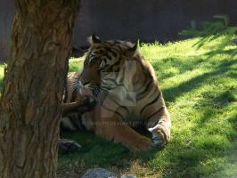 Phoenix Zoo tiger2 by Tanis711