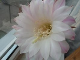 cactus flower by oligarhs