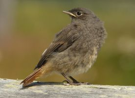 Young redstart by BK-81