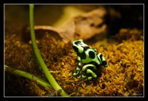 Dart Frog by FallesenPhotography
