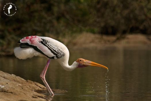 Painted-stork by k-v-bhat