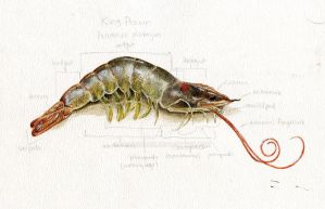 King Prawn Study by Deadsound