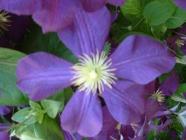 clematis by kirablack