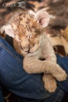 Lion cub Shenzi II by Lion-Redmich