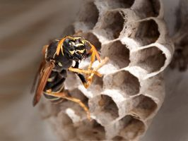 Portrait of a wasp by mariall