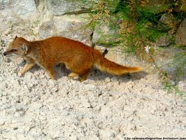 Yellow mongoose 2 by Cansounofargentina
