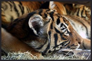 Lazy Tiger Cub by shutterbugmom